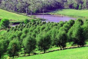 Rainforest Pearl Finger Lime Trees