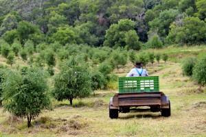 Finger Lime Orchard