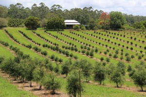 Native Australian Finger Limes growing